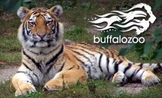 Buffalo zoo- tiger