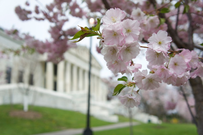 cherry-blossom-fest