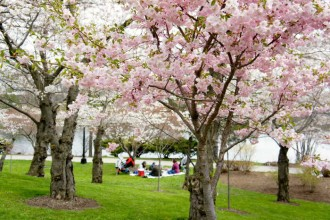 Cherry blossom Festival - Mothers Day