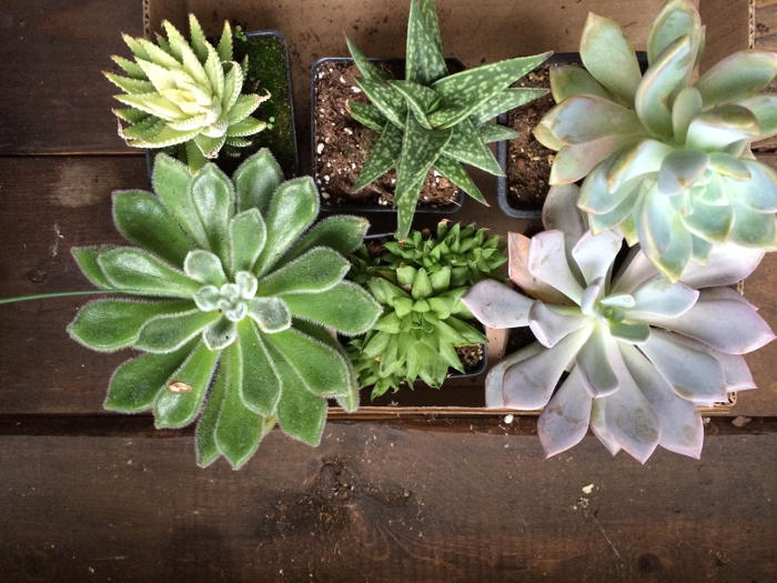 Succulents, Step Out Buffalo