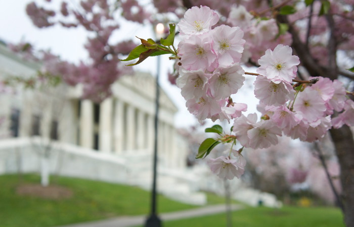 Here's How to Enjoy Buffalo's Cherry Blossoms Virtually During Quarantine