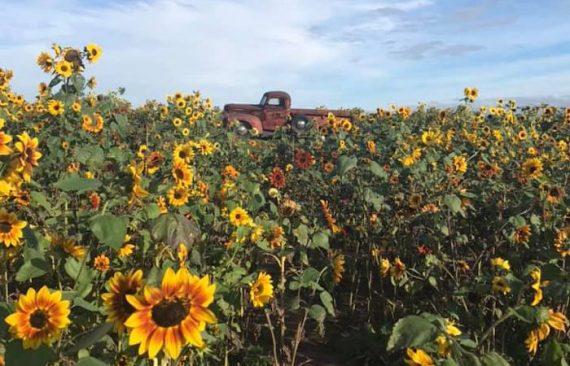 Sunflowers of Sanborn