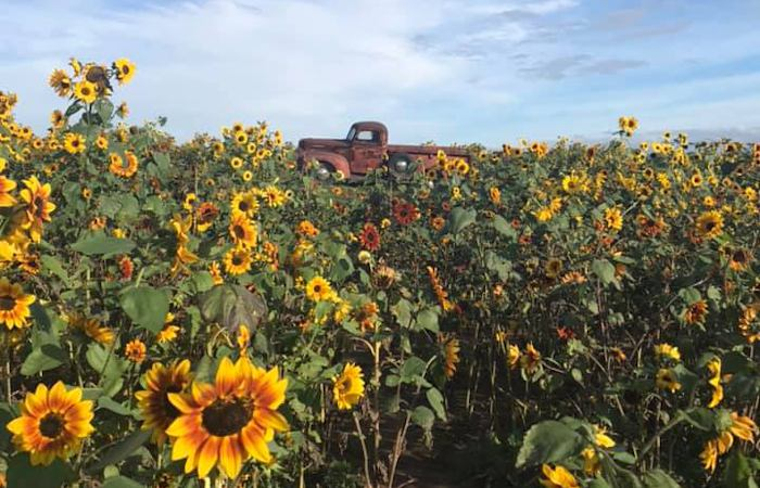 Sunflowers of Sanborn is One of the Most Popular Things to Do During The Summer in WNY
