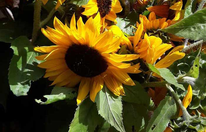 Farm In Peace is the Destination for Sunflowers & More in the Southern Tier