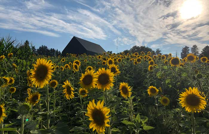 Here's Where You Can Take Pics in a Sunflower Field for Free South of Buffalo