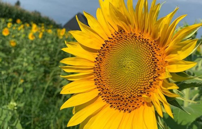 4 Beautiful Sunflower Fields to Visit Before the Season is Over