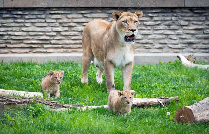 You Can Officially Visit This Cuddly Pair of Cubs at the Buffalo Zoo